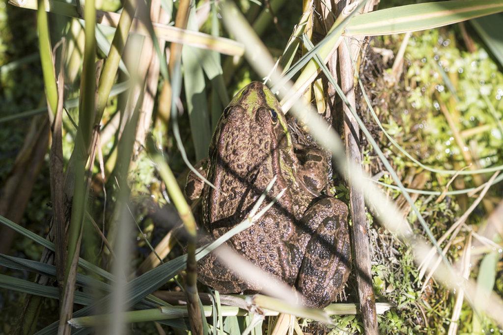 Marsh Frog at Rainham Marshes Nature Reserve